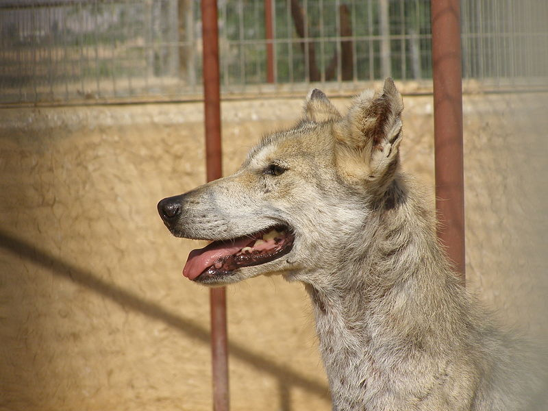 arabischerwolf